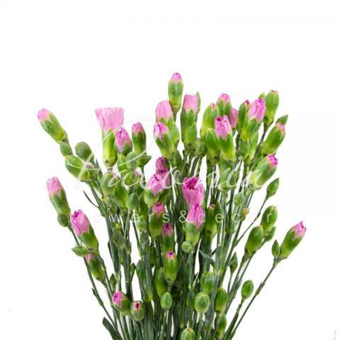Гвоздика спрей рожева 70см