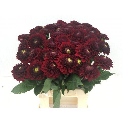 Георгіна Black Fox темно-червона 45см