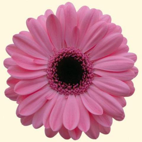 Гербера Abraxas ніжно-рожева 45см