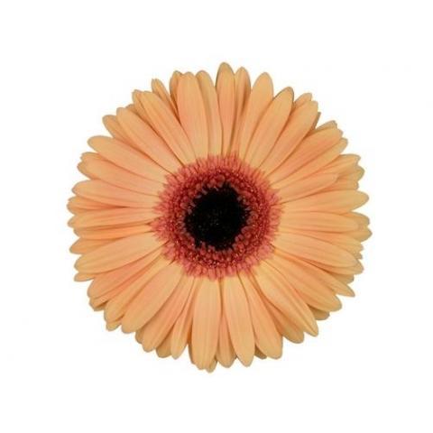 Гербера Alma ніжно-помаранчева 45см