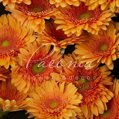 Гербера Avignon ніжно-помаранчева 45см