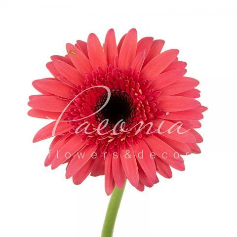 Гербера Bubblegum рожева 45см