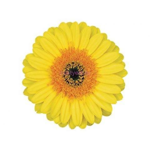 Гербера Cabana жовта 45см
