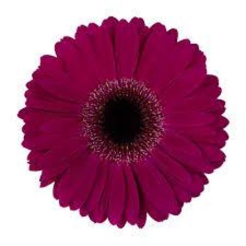 Гербера Clasico темно-фіолетова 45см