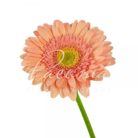 Гербера Kiara ніжно-рожева 45см