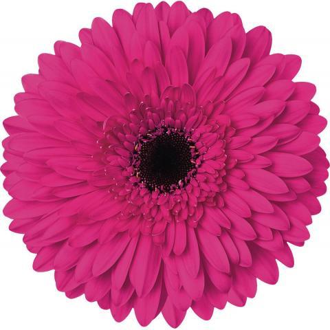 Гербера Madeira яскраво-рожева 45см