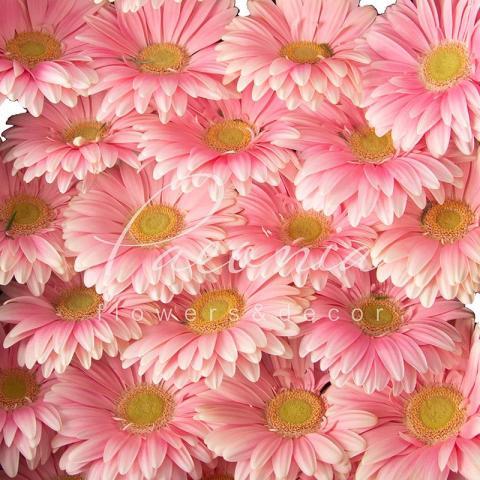Гербера Plot ніжно-рожева 45см