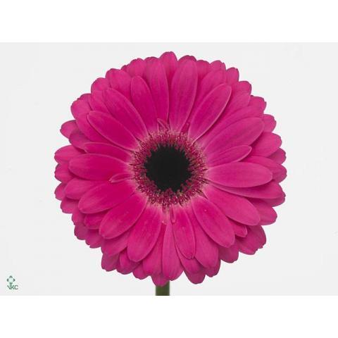 Гербера Rich яскраво-рожева 45см