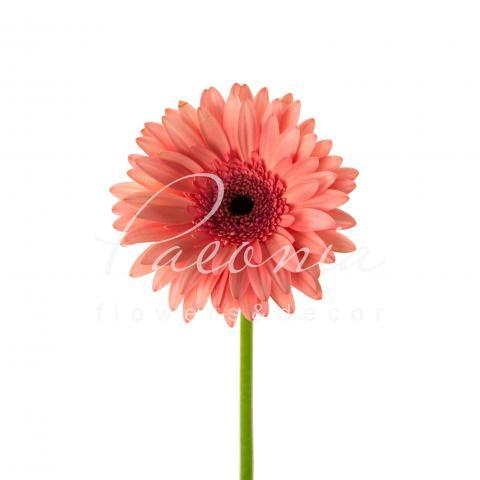 Гербера Scala ніжно-рожева 45см