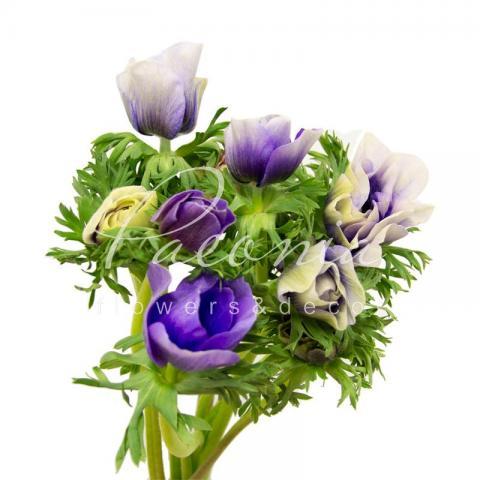 Анемона Mistral Bicolor біло-блакитна 45см