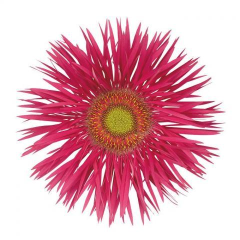 Гербера Spider Rodrigo яскраво-рожева 50см