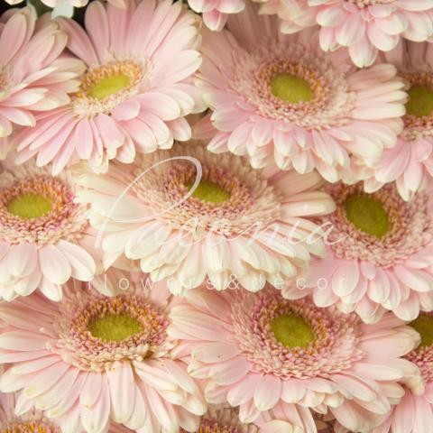 Гербера міні Cabaret біло-рожева 45см