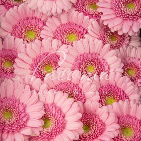 Гербера міні Kimsey ніжно-рожева 45см