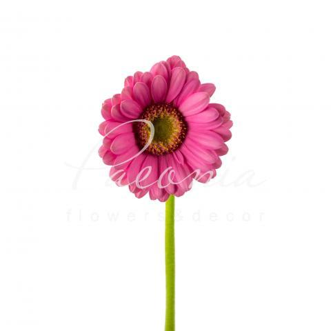 Гербера міні Lotte ніжно-рожева 45см