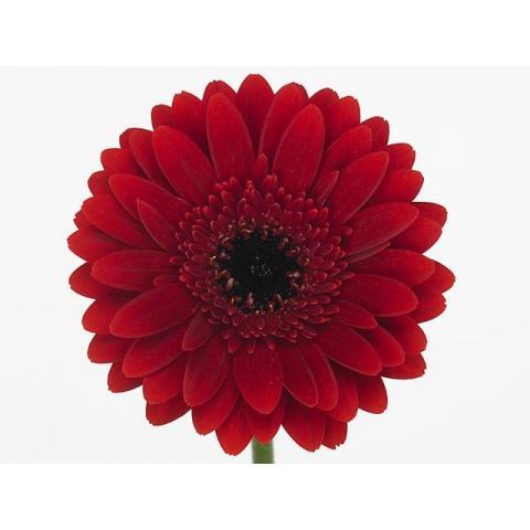 Гербера міні Masserati темно- червона 45см