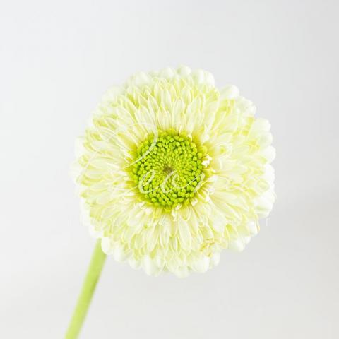 Гербера міні Pomponi Kermit біло-зелена 45см