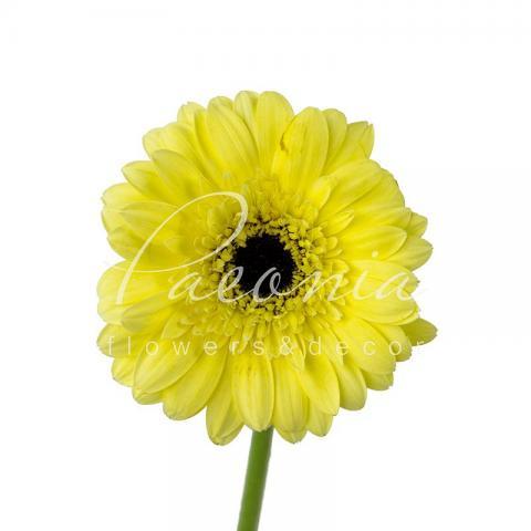 Гербера міні Stewart ніжно- жовта 45см