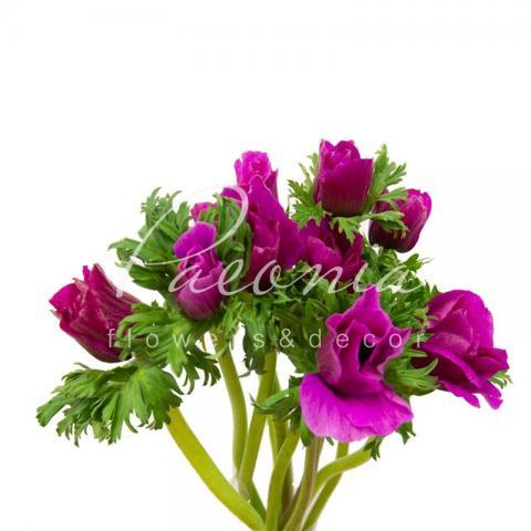 Анемона Mistral Plus пурпурна 40см