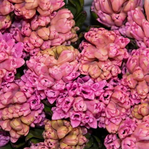 Гіацинт Anna Marie рожевий 32см