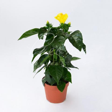 Гібіскус 13*35 жовтий Starlet