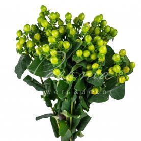 Гіперикум Coco Bamboo зелений 50см