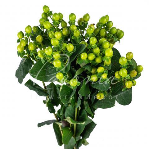 Гіперикум Coco Bamboo зелений 60см