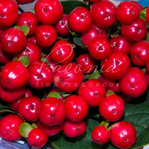 Гіперикум Coco Calypso червоний 40см