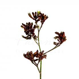 Анігозантус Early Spring 70см