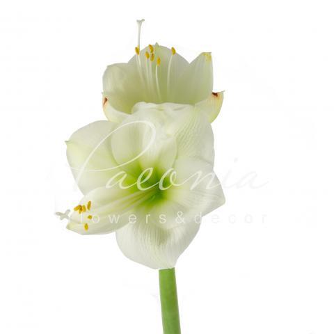 Гіппеаструм Himalaya білий 75см