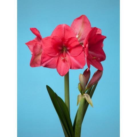 Гіппеаструм Pink Rival яскраво-рожевий 60см