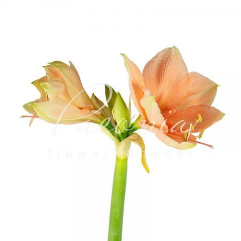 Гіппеаструм Rilona персиковий 60см