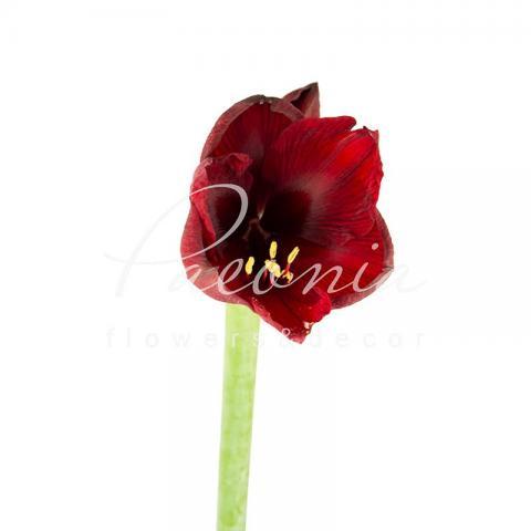 Гіппеаструм Royal Velvet бордовий 75см