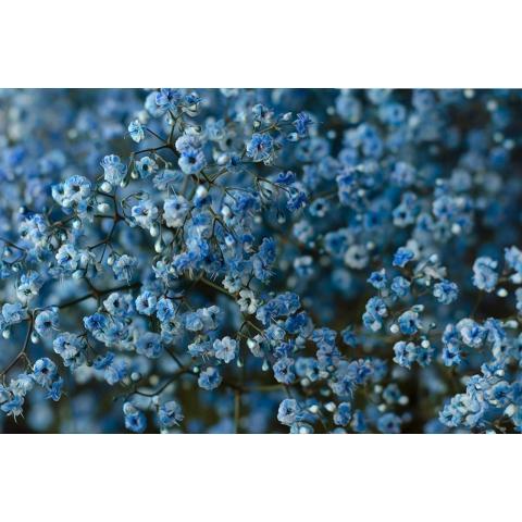 Гіпсофіла Light Blue фарбована 80см