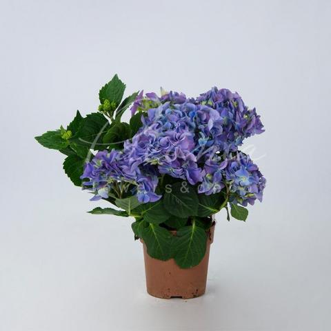Гортензія 12*25 блакитна Early Blue