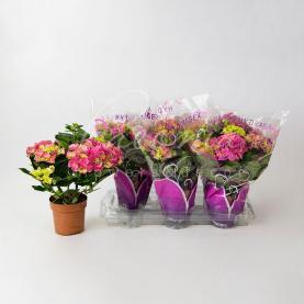 Гортензія 13*35 рожева Early Rosa