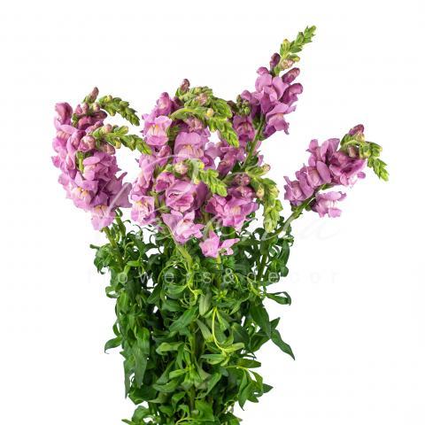 Антірінум Lavender 70см