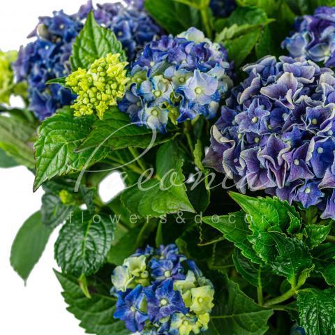 Гортензія 23*45 блакитна Early Blue