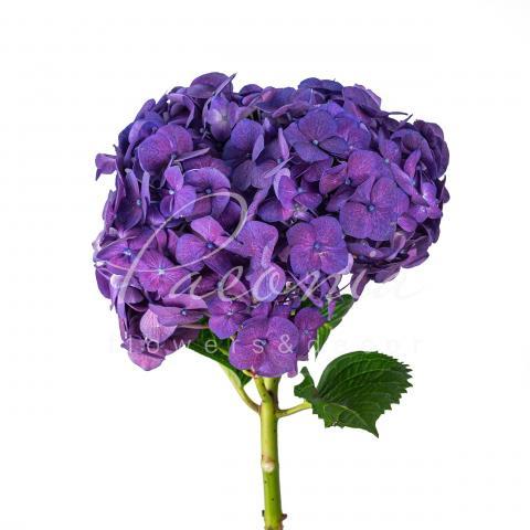 Гортензія Jumbo Purple 60см Ø221-24см