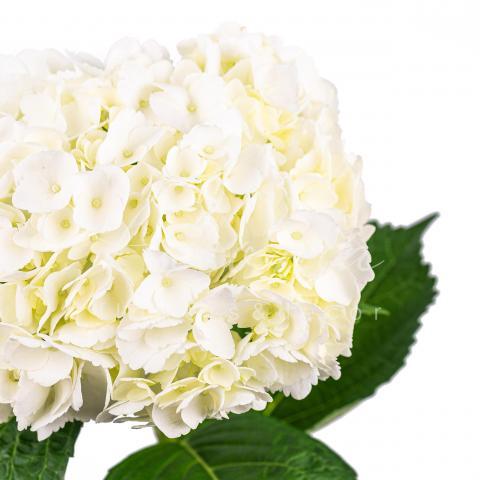 Гортензія Jumbo White 60см Ø21-24см