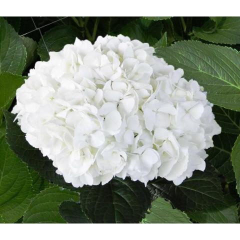 Гортензія Jumbo White 60см Ø25-30см