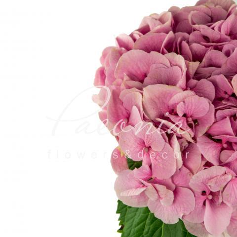 Гортензія Margarita рожева 60см Ø15см