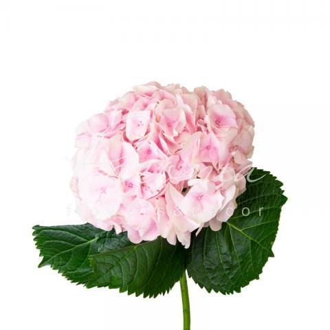 Гортензія My Pink Touch 60см Ø20см