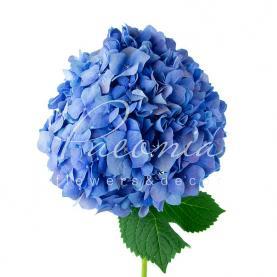 Гортензія Pimpernel Blue 80см Ø20см