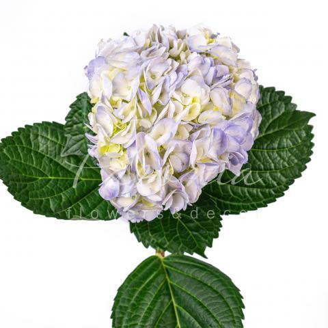 Гортензія Premium Lilac 60см Ø20см
