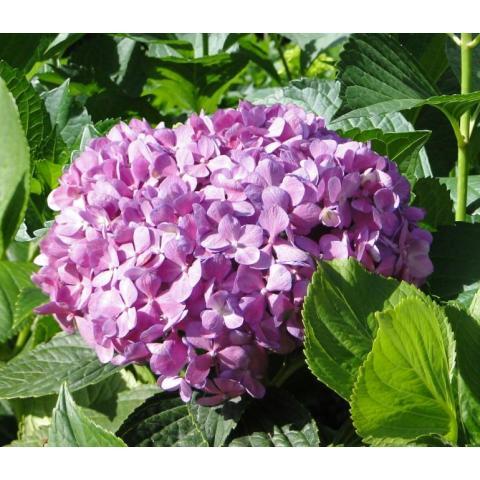 Гортензія Purple Extra 60см Ø19-23см