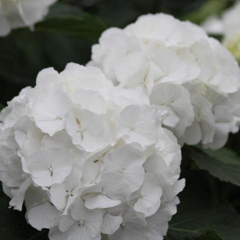 Гортензія Verena біла 60см Ø20см