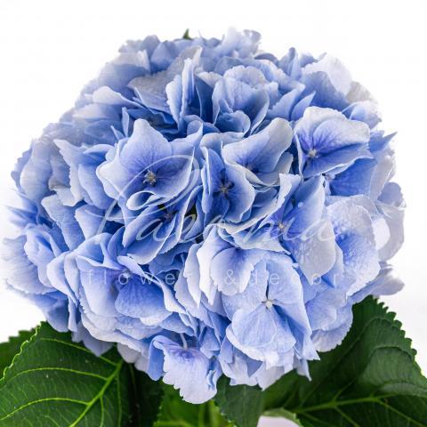 Гортензія Verena блакитна 60см Ø20см