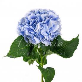 Гортензія Verena блакитна 80см Ø23см