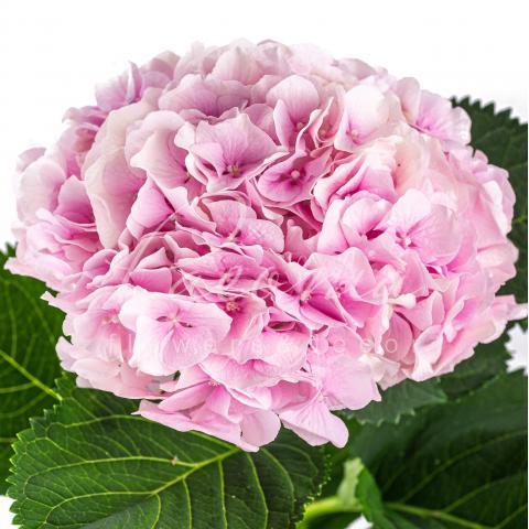 Гортензія Verena рожева 60см Ø20см