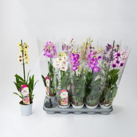 Дендробіум (орхідея) 11*65 Sa-nook мікс